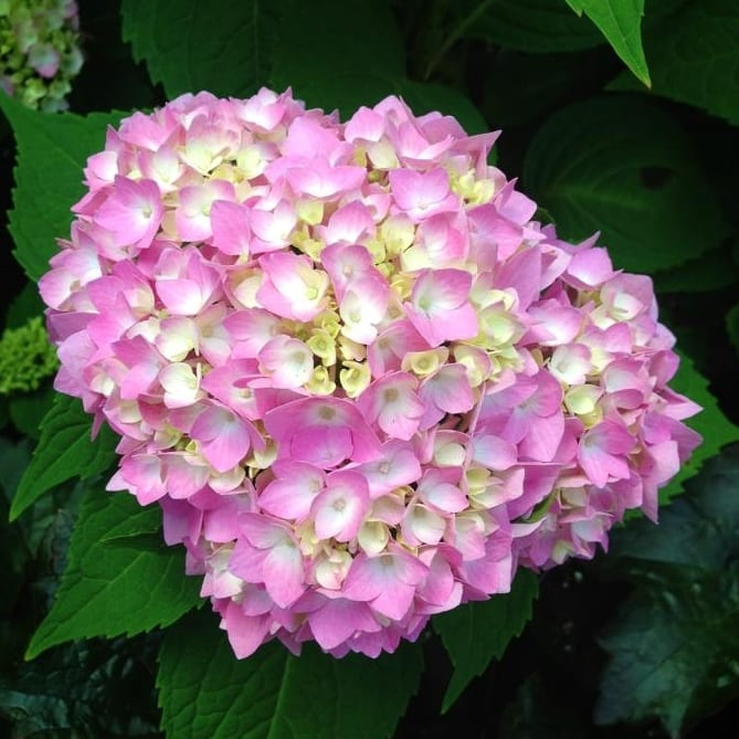 Year around flowers 28 images enjoy your hydrangea flowers year round wiesner bros nursery - Flowers that bloom all year round ...