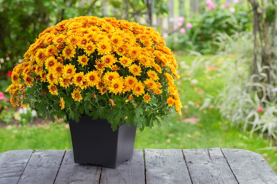 Chysanthemums in the Fall