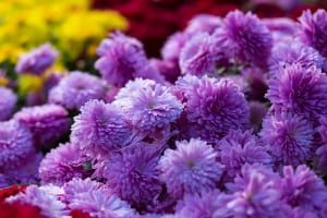 Purple Mums For Planting