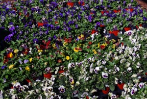 pansies full