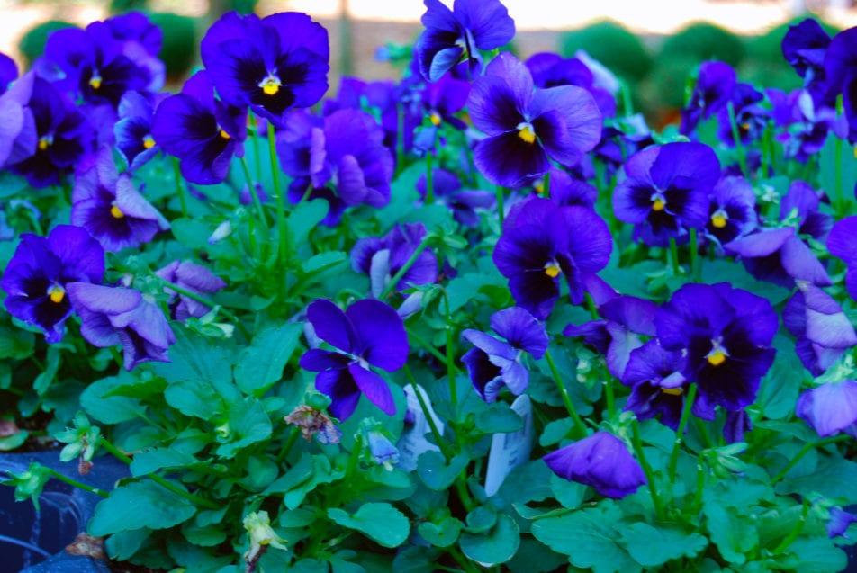 pansies purple 2