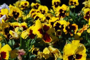 pansies yellow