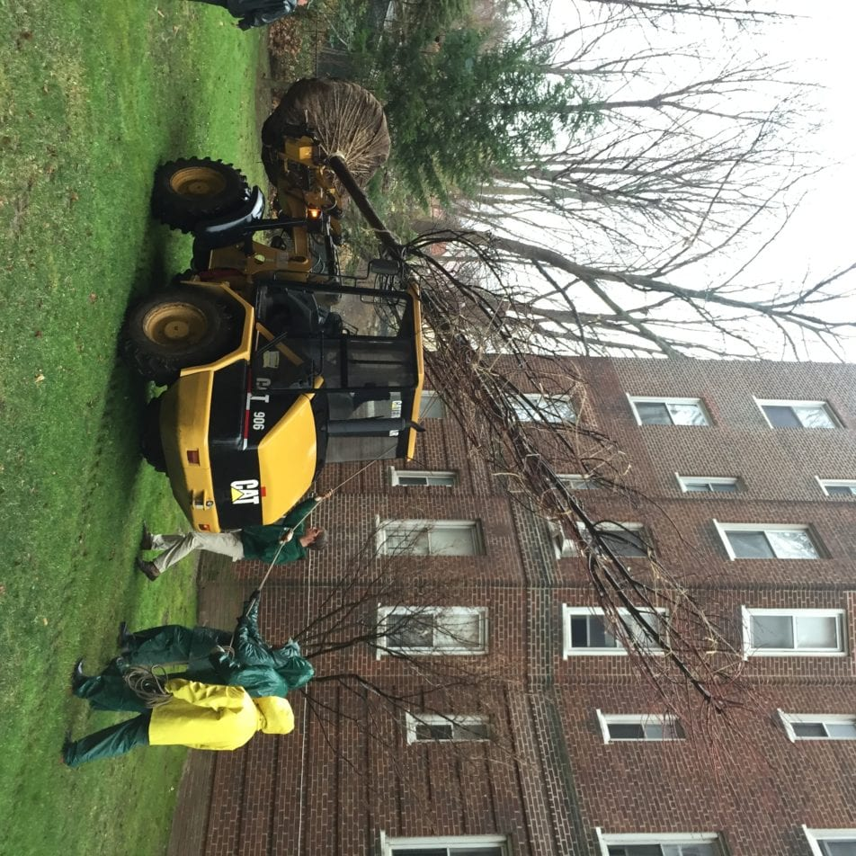 Install of a Weeping Willow & Red Maple
