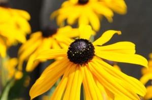 Coneflowers - Rudbeckia hirta