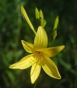 Daylily Hemerocallis lilioasphodelus