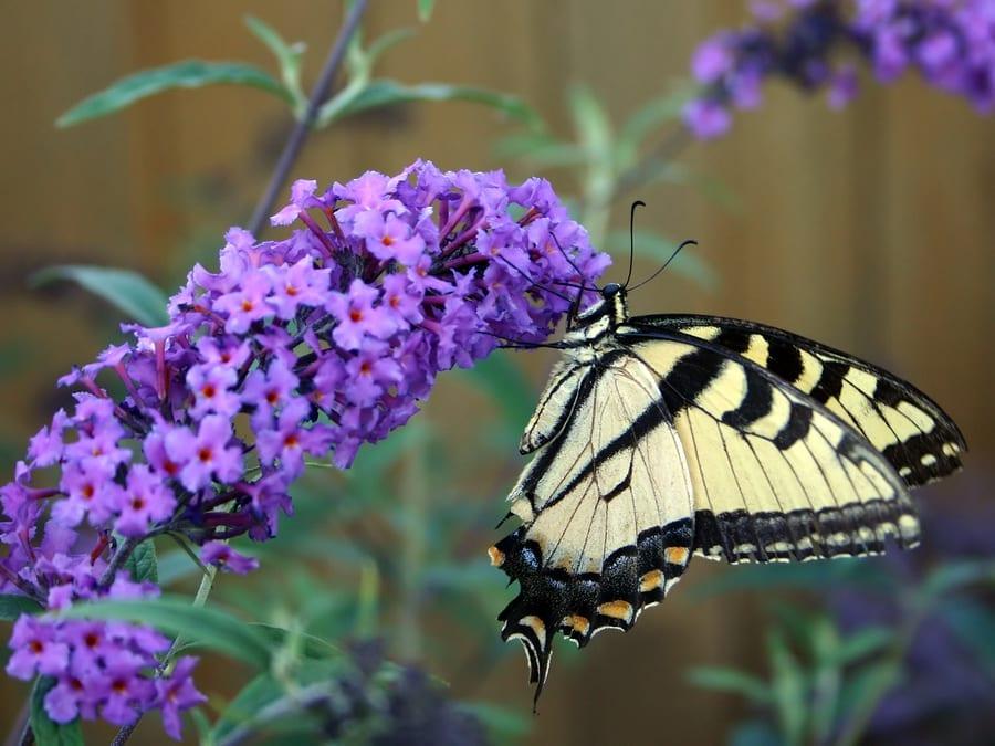 Atraer las mariposas a su jardín | Columna del jardín | NJ.com