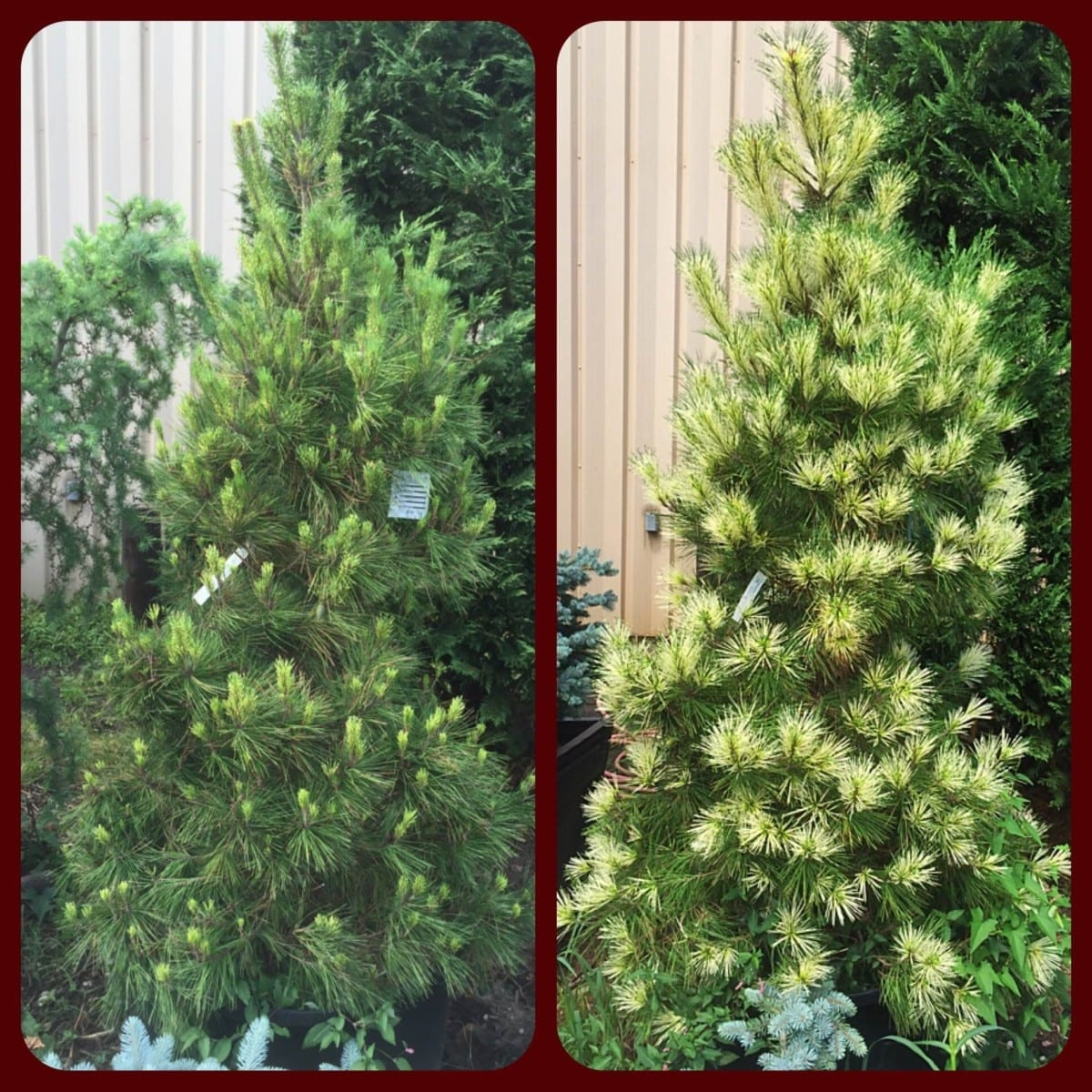 Dragon Eye Pine, July 10th (Right) and August 10th (Left)