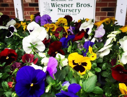 Icicle Pansies for your Garden
