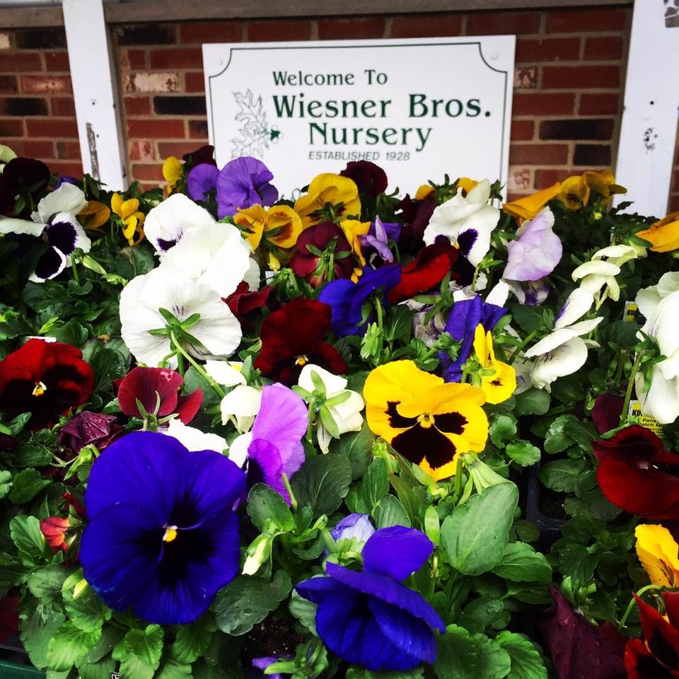 WHY YOU SHOULD ADD PANSIES TO YOUR GARDEN